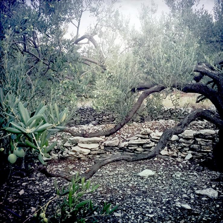 Stone walls in olive grove in  Šolta Island, Croatia